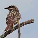 Bem-te-vi-rajado(Streaked Flycatcher)