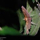 Sympis rufibasis 龍眼合夜蛾