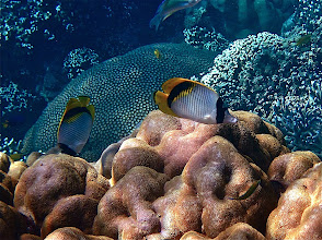 Photo: pig-face or lined butterflyfish, Ao Maeyai