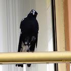Australian Magpie(Male)