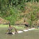 Pisingo - suirirí piquirrojo - Black-bellied Whistling Duck