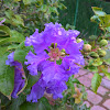 Pride of India or Giant crepe-myrtle