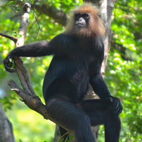 Langur by Nirmal Neelakandan - Animals Other Mammals ( pose, zoo, langur, monkey, chennai )