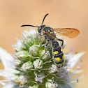 Scoliid Wasp (male)