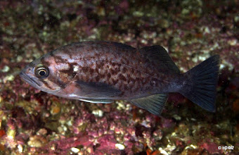 Photo: Juvenile blue rockfish