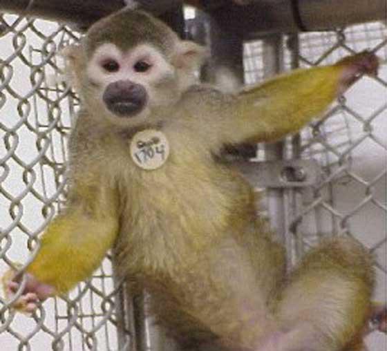 Saimiri sciureus (common squirrel monkey) [11].