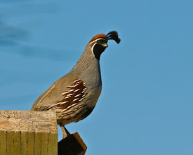 Photo: Gambel's quail; many of them hang around the Refuge headquarters