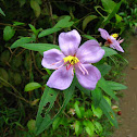 Straits or Singapore Rhododendron