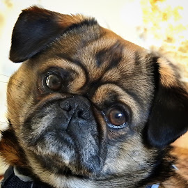 Little Big Man by Patricia Phillips - Animals - Dogs Portraits ( dogs pugs little )