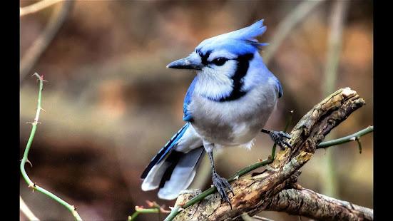 blue jay wallpaper  Blue Jay. Birds Wallpapers - Apps on Google Play