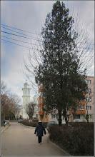 Photo: Conifer de pe Calea Victoriei, alee de acces la blocuri- 2017.12.19