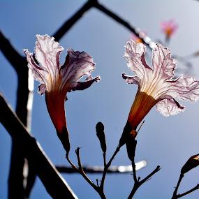 translucent petals!! by प्रसाद जोशी - Nature Up Close Flowers - 2011-2013 ( light flower patels )