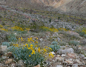 Photo: Brittlebush and desert-scape of Borrego Palm Canyon; Anza Borrego Desert State Park