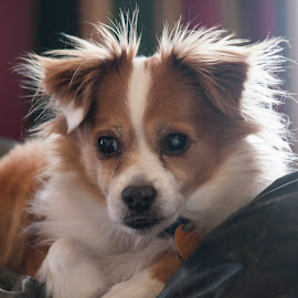 Eddie by Anita Frazer - Animals - Dogs Portraits ( white, animal, brown, dog, pet )