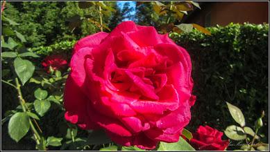 Photo: Trandafiri (Rosa) - de pe Str. Salinelor, Nr.15 - 2017.07.07