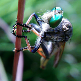 Robber Fly by Brq A - Instagram & Mobile Other