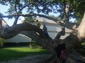 Photo: climbing a Kapok tree in downtown St. Pete