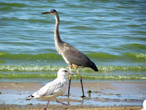 Photo: Birds like the shore at Alburg Dunes State Park by Raven Schwan-Noble