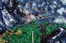 groene plantjes met gele bloemetjes drijven op water tussen de rotsen