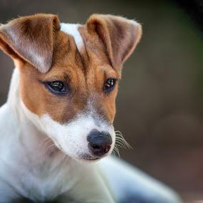 by Sergio Savi - Animals - Dogs Portraits ( jack russell, dogs, jack russell terrier, dog portrait, dog )