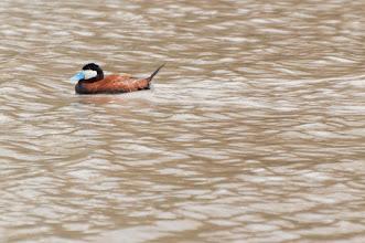 Photo: Ruddy Duck, male, (Schwarzkopfruderente); San Miguel de Allende, GTO
