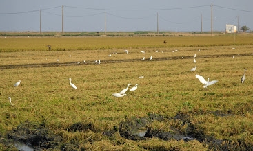 Photo: Count the egrets