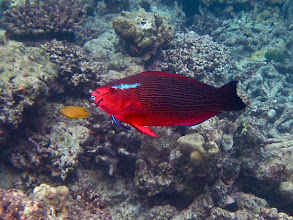 Photo: red female swarthy parrotfish being cleaned by a blue-streaked cleaner wrasse