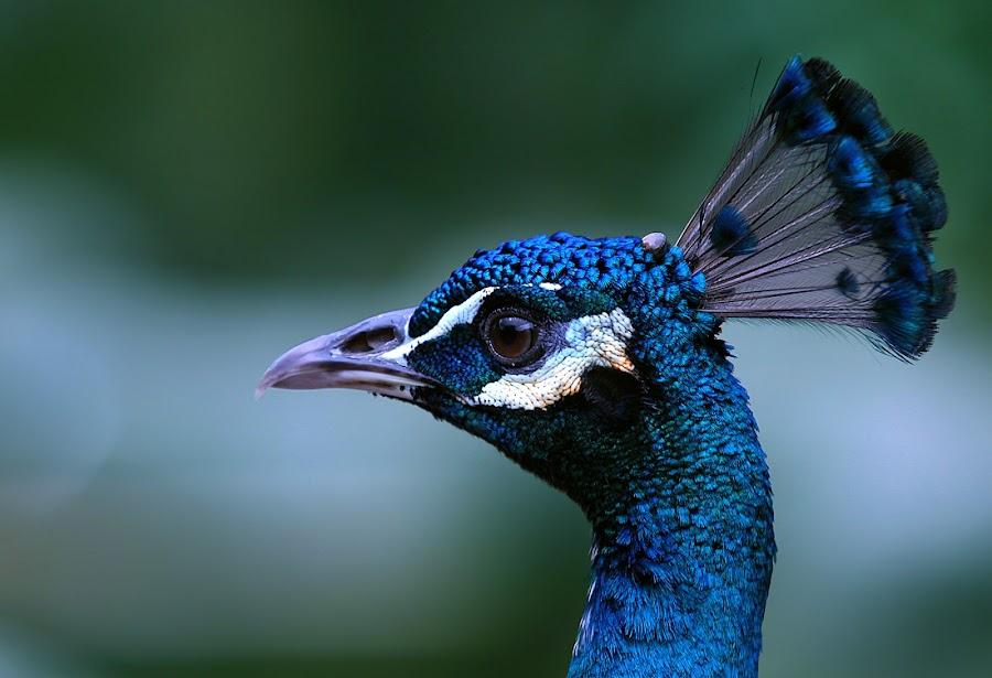 by Wan Muadzam - Animals Birds