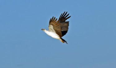 Photo: Day 3 -  White-bellied Sea-eagle, called Marrawuddi by the Gundjeihmi people © Ian Morris