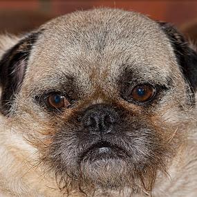 Pug  by Tristan Wright - Animals - Dogs Portraits ( pet portrait, macro, pet, dog, close up, portrait, pug,  )