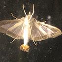 Pickleworm Moth