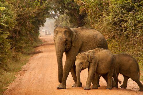 Elephant Crossing, Yala National Park, Sri Lanka (www.secretlanka ...