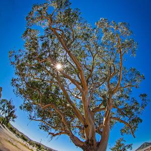 Le Gum Tree.jpg