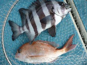 Photo: おおおーっ! イシダイと真鯛のダブル!