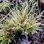 Lanky moss