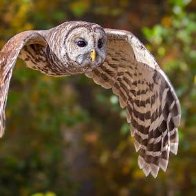 Barred Owl by Bill Killillay - Animals Birds ( canon, flight, barred owl, owl, calloway gardens, ga )