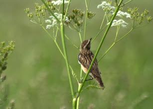 Photo: луговой чекан