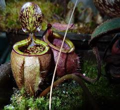 Photo: Nepenthes attenboroughii