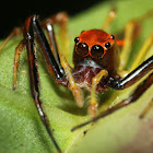 Viciria Jumping Spider(Male)
