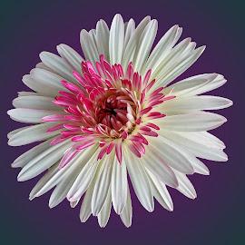 Gerbera daisy by Prema Pangi - Flowers Single Flower