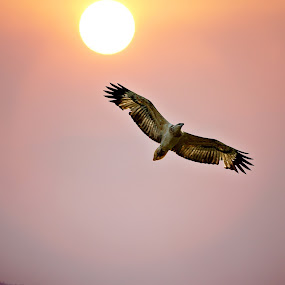 Where the Eagle Flies by Tanya Rossi - Animals Birds ( bird, eagle, fly, raptor, eagles, sun )