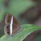 Sahyadri Medus Brown