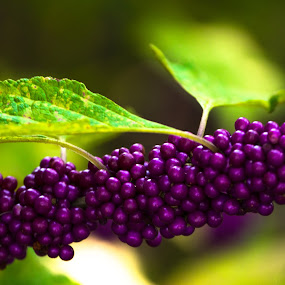 Purple Berries by Luke Albright - Nature Up Close Other plants ( leaves, nature, plant, purple, berries )