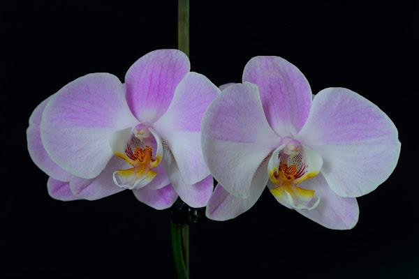 Orchidee di Andrea Casolin