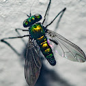 Long-Legged Fly / Mosca-de-Pernas-Longas