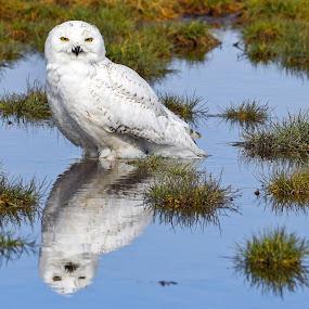 I'm seeing double by Steven Liffmann - Animals Birds ( snowy owl,  )