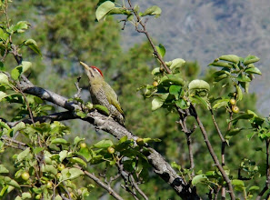 Photo: Our resident Green bellied male woodpecker