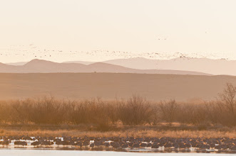 Photo: Snow geese taking off at sunrise as sandhills bide their time; Bosque del Apache