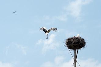 Photo: White Stork (Weissstorch); Dippelsdorf, DE