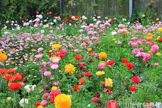 Photo: 拍攝地點: 梅峰-溫帶花卉區 拍攝日期: 2014_04_16_FY